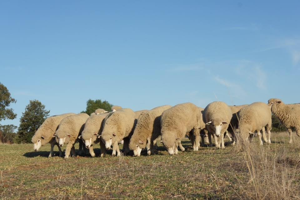 Felting Corriedale wool