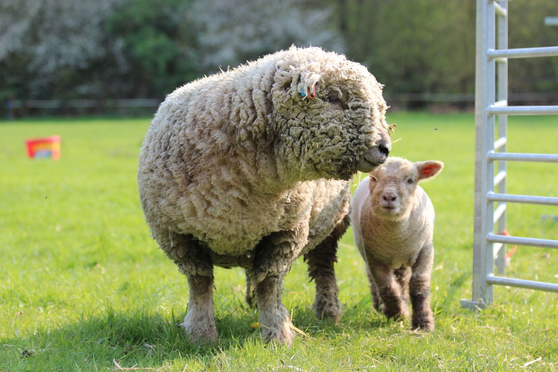 Felting Southdown Wool