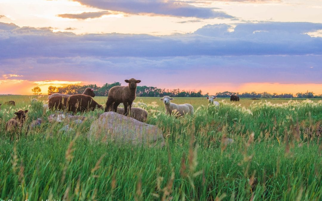 How Sheep came to reside at Bear Creek