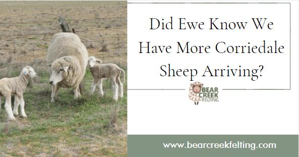Did Ewe Know We Have More Corriedale Sheep Arriving?